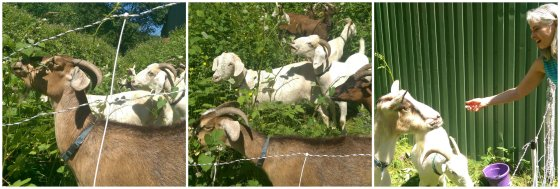 Goats eating Collage
