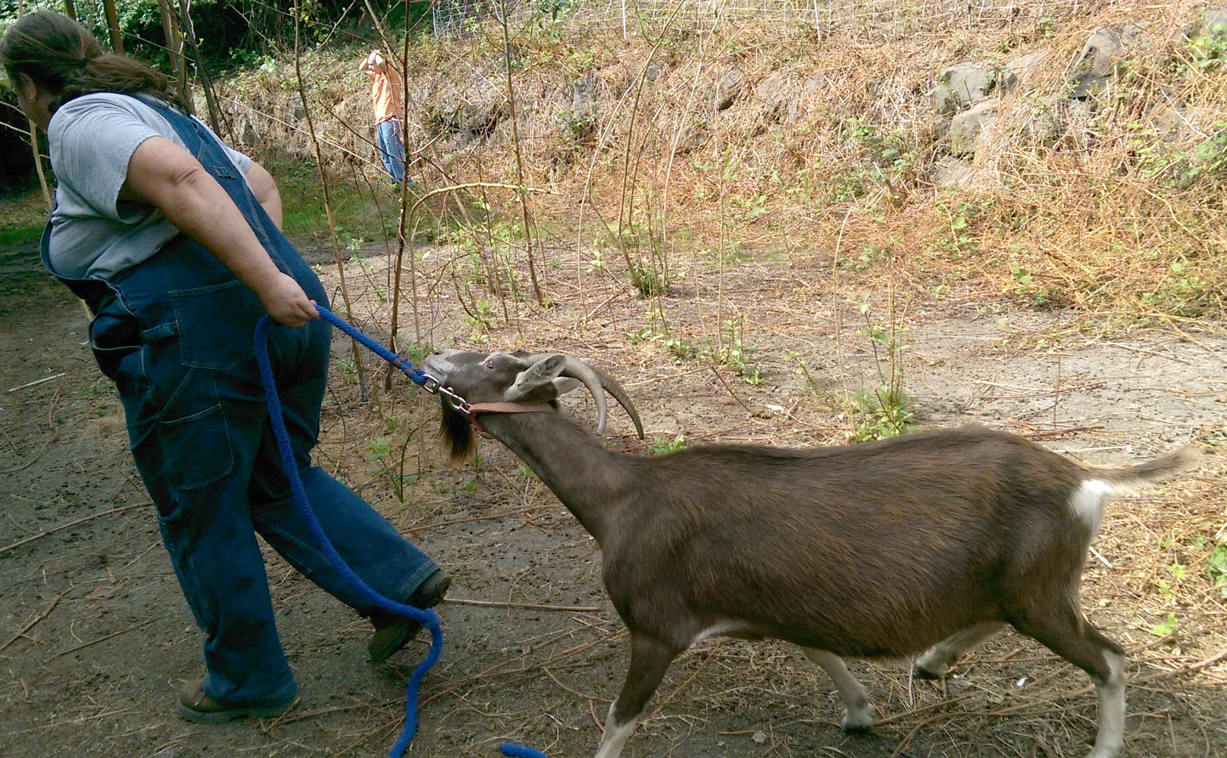 Dragging Goat