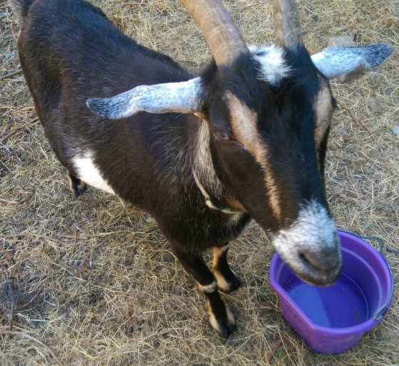 goat and water bucket