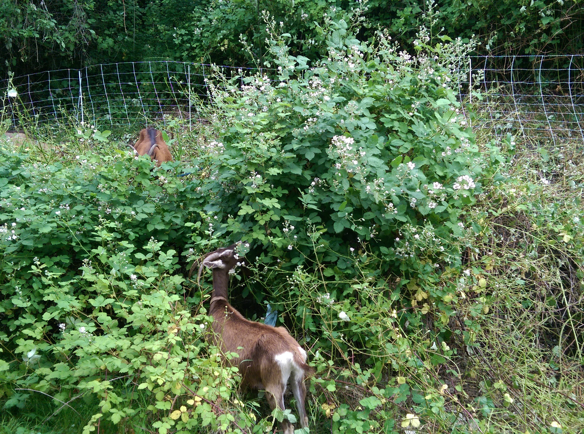 progress made in the backyard goat update the works